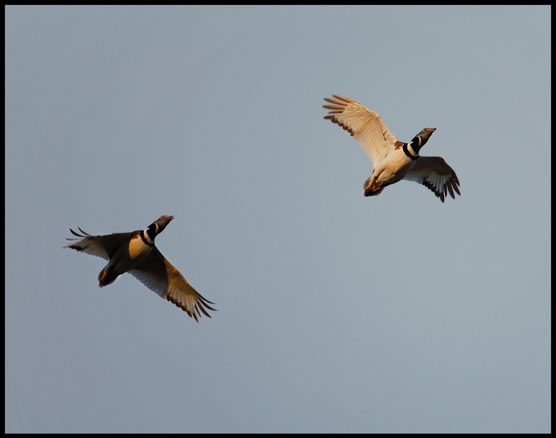 Male Little Bustards flying low in evening light