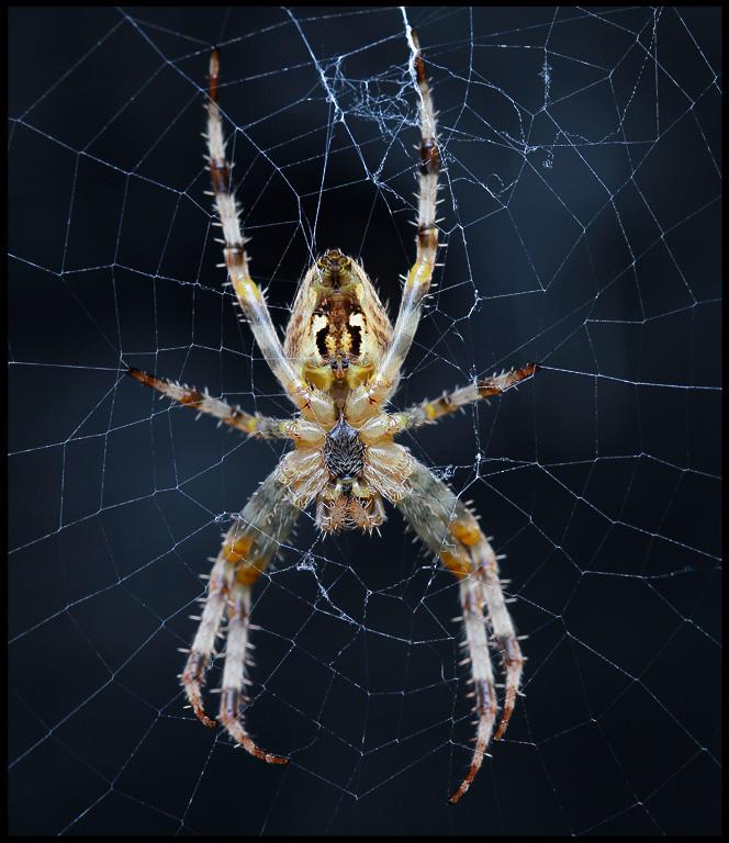 European Garden spider (Korsspindel Araneus diadematus) - Gotland