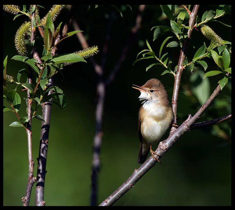 Marsh Warbler - Armenia 2005