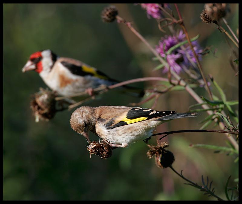 Goldfinches - Ottenby Sweden 2005