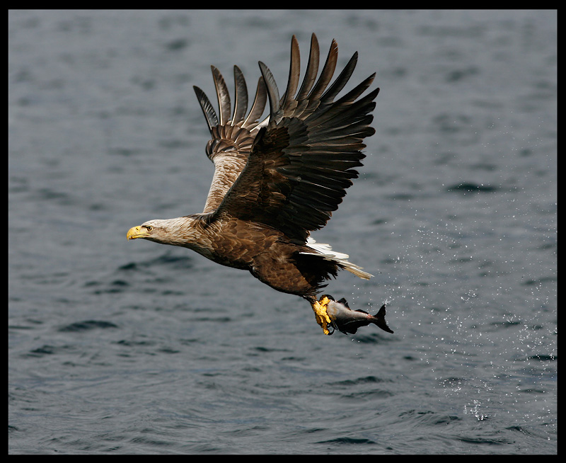 White-tailed Eagle catching fish 3