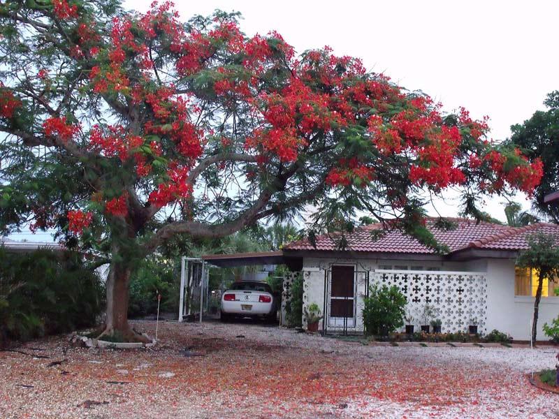 Orange bloosom tree