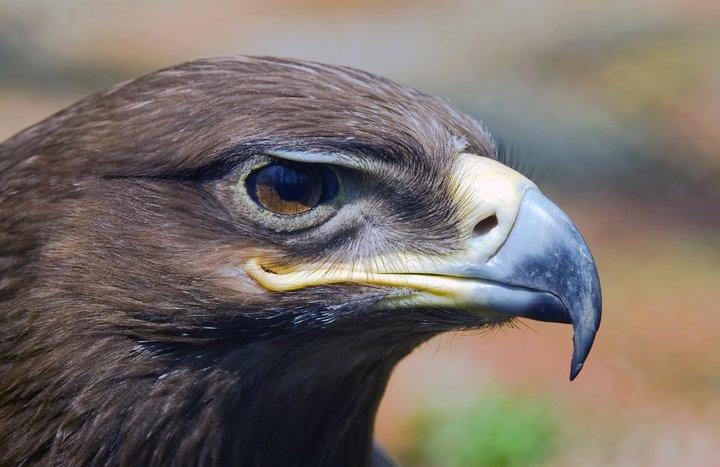 Aquila chrysaetos(Linnaeus, 1758)Golden Eagle.jpg
