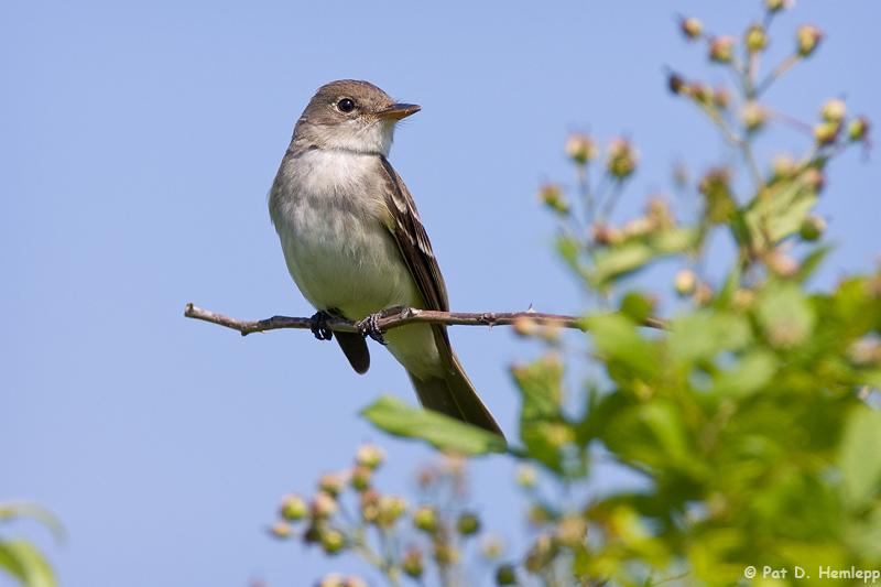 Posing Flycatcher