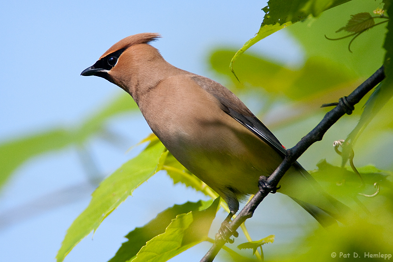 Leaning Waxwing