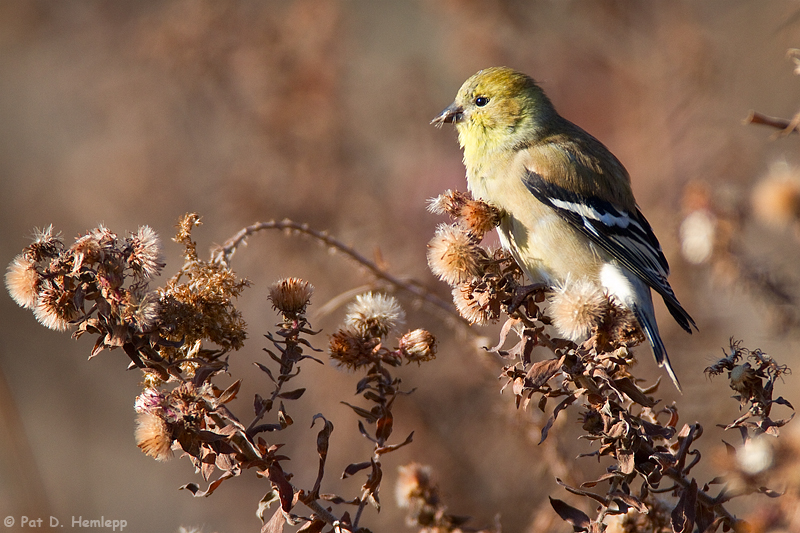Sunny Goldfinch
