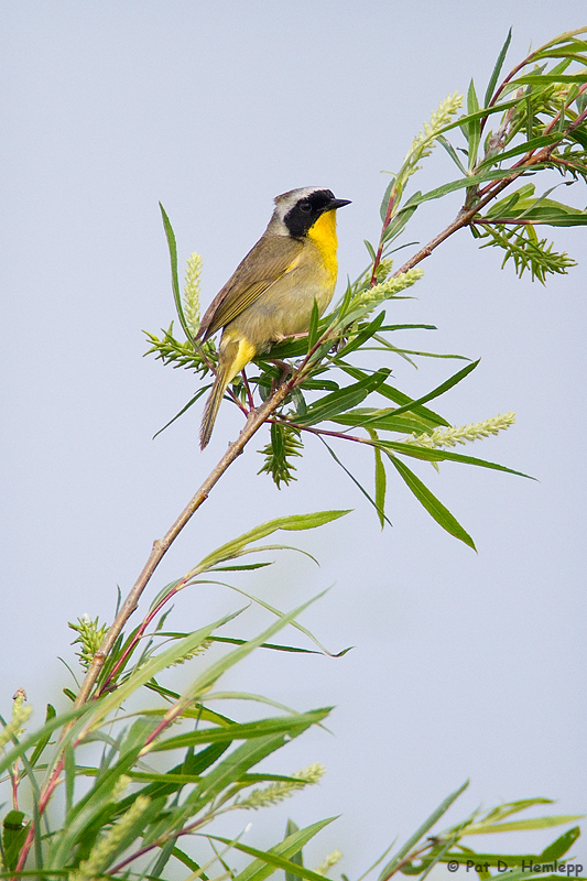 Yellowthroat resting