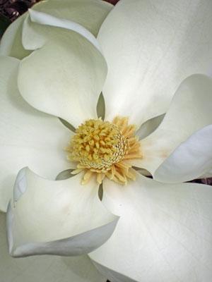 23 Backyard magnolia 2950