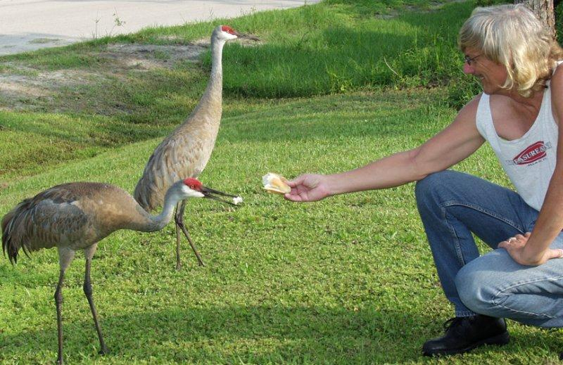 A pair of Sandhill Cranes stop by sometimes...here, they are getting some of my lunch before we go out on the Harley.