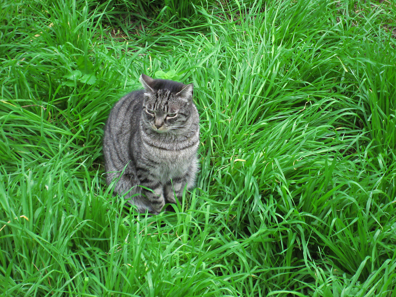 Tiger in the grass at the Torre Argenitna .. 3352