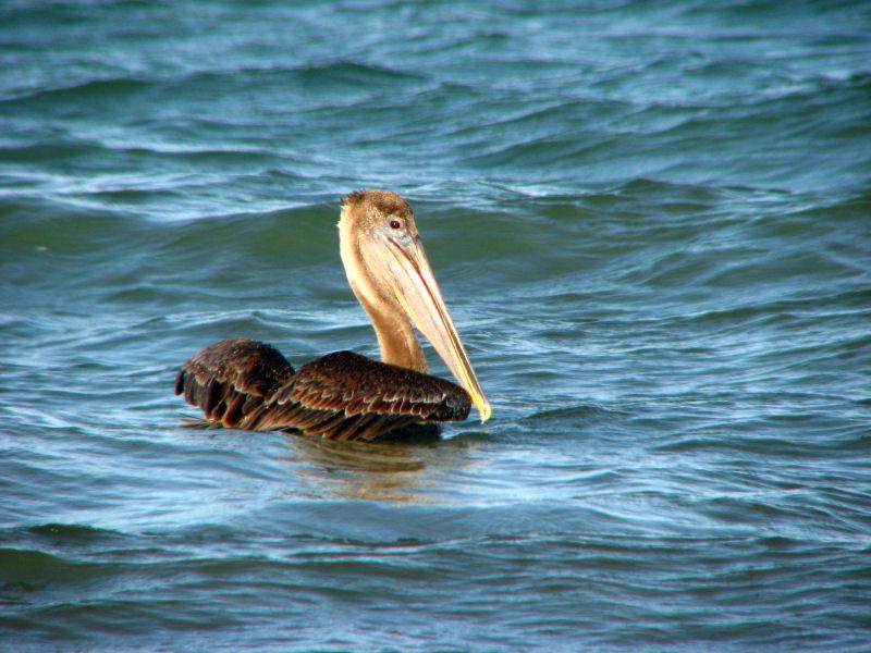 12-12-09 brown pelican.jpg
