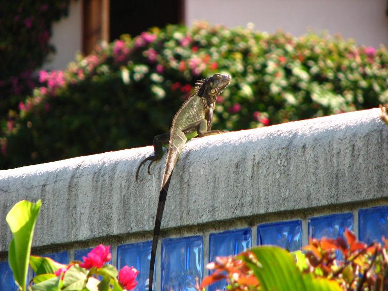 12-13-09 iguana.jpg