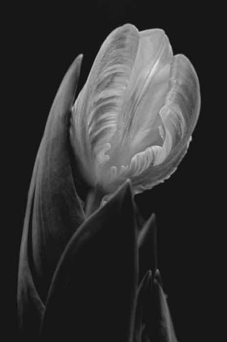 3/22/08 - Tulip