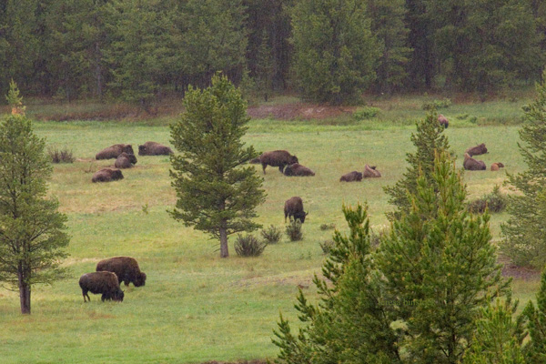 zP1000482 Bison on NFS land near YNP - BFC patrol.jpg