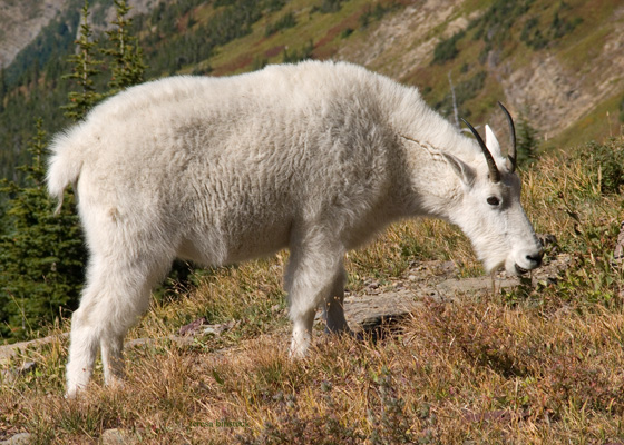 zP1010947 Mountain goat among fall colors by Hidden Lake Trail in Glacier National Park.jpg