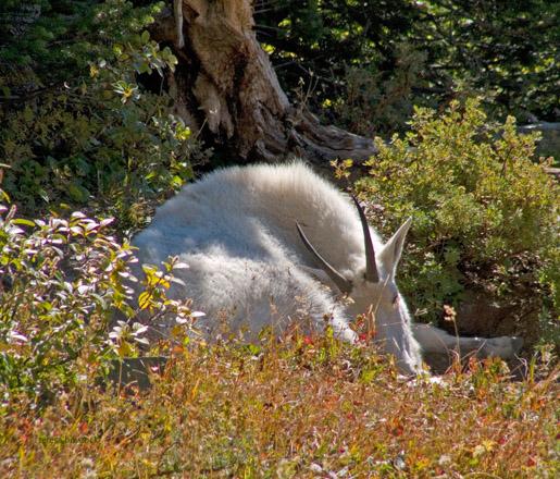 zP1010969 Mountain goat resting near Hidden Lake Trail in Glacier National Park.jpg