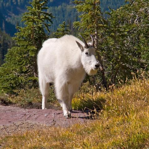 zP1010961 Mountain goat near Hidden Lake Overlook in Glacier National Park.jpg