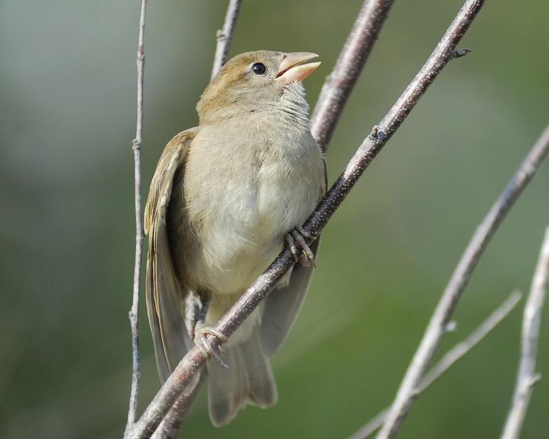 house sparrow BRD8218.jpg