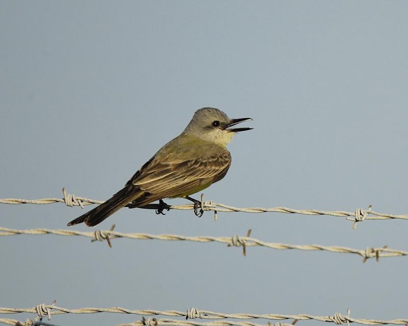 tropical kingbird BRD9657.jpg