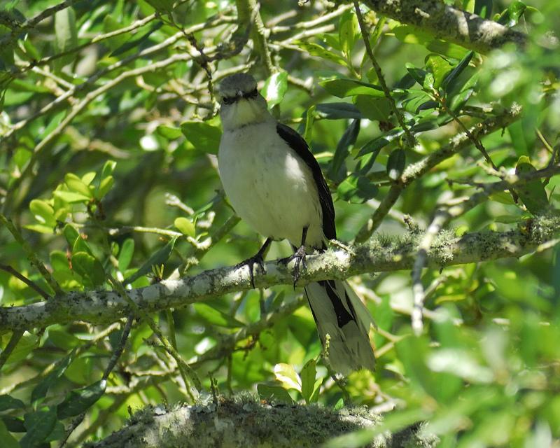tropical_mockingbird_BRD0724.jpg