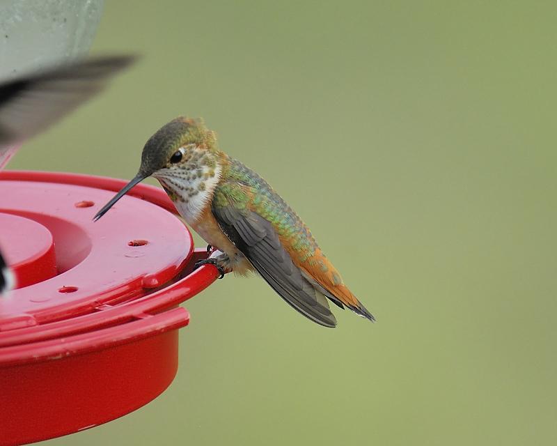 rufous hummingbird BRD5943.JPG