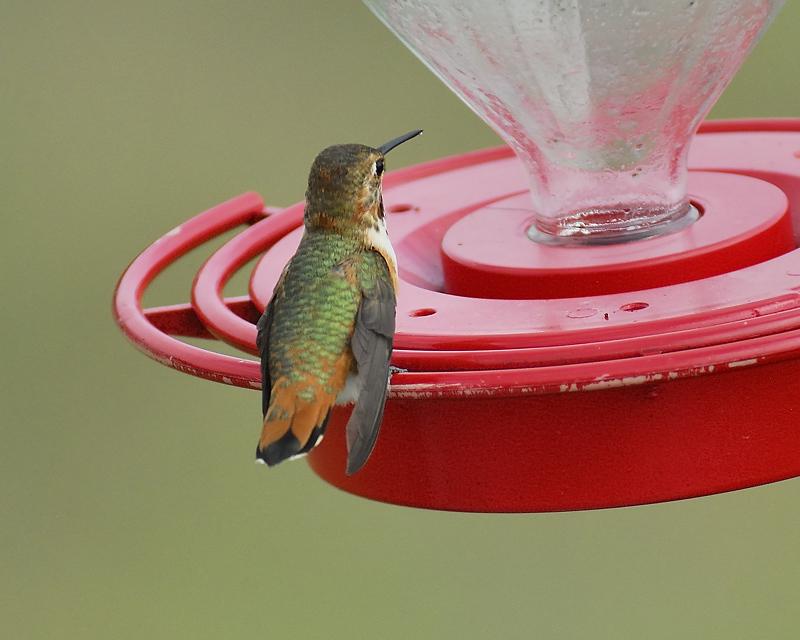 rufous hummingbird BRD5950.JPG