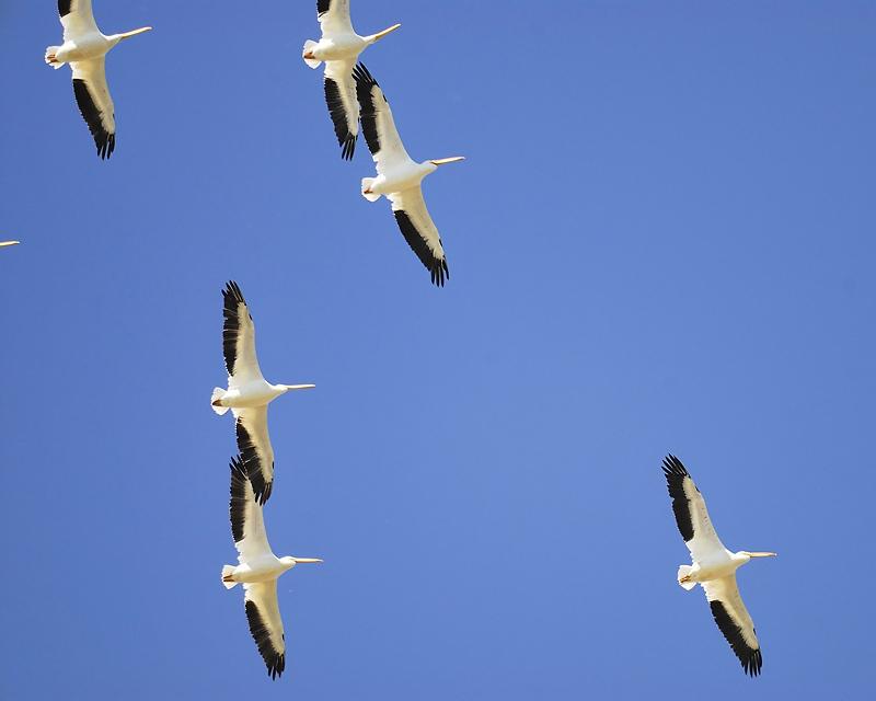 white pelican BRD6378.JPG