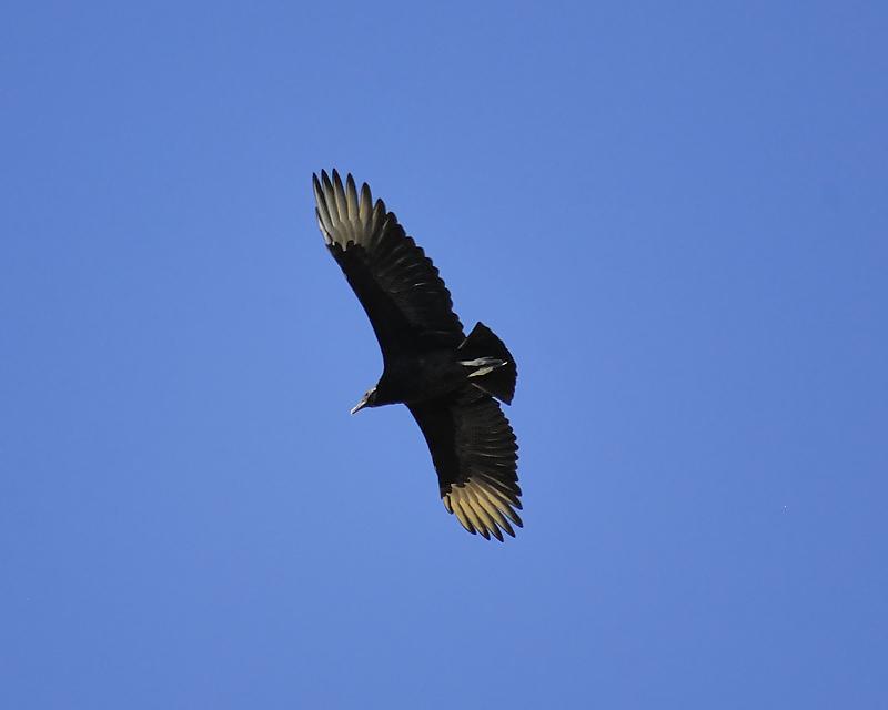 black vulture BRD6135.JPG
