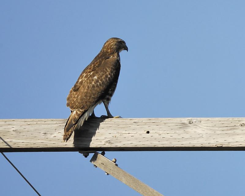 broad-winged hawk BRD6439.JPG