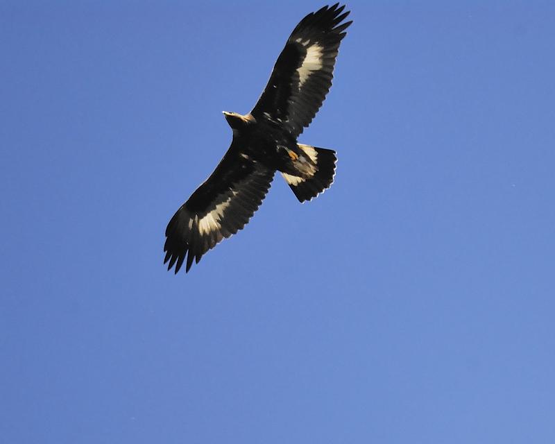 golden eagle BRD6250.JPG