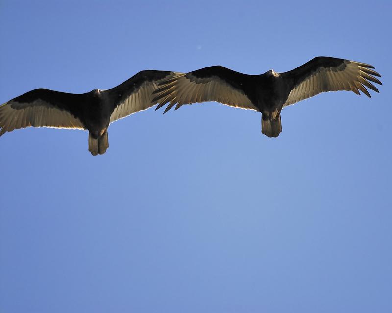 turkey vulture BRD6854.JPG