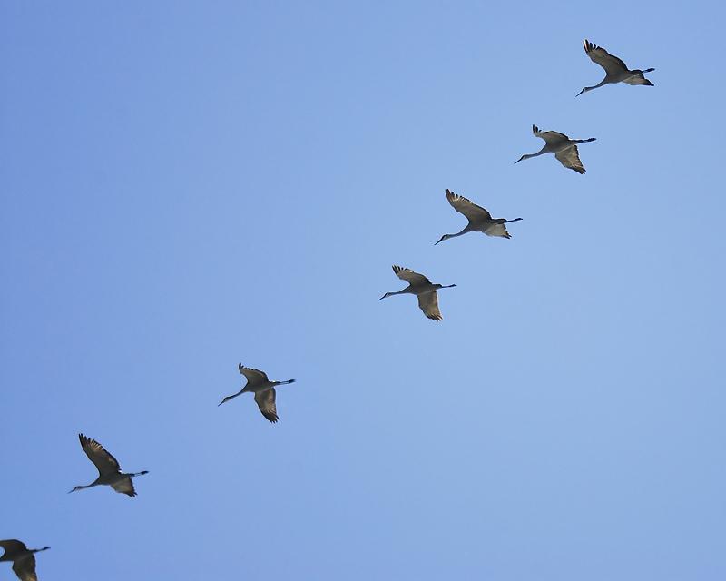 sandhill crane BRD7192.JPG