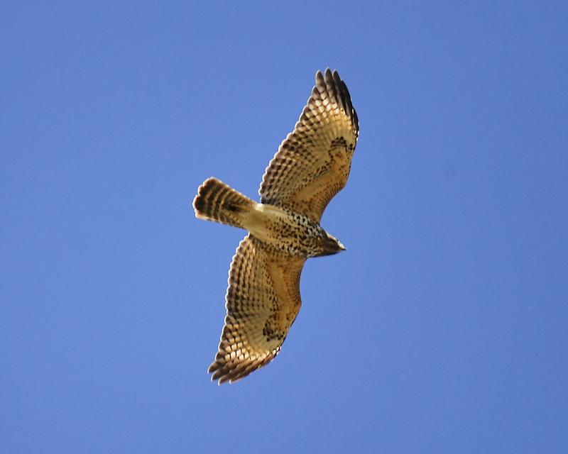 red-shouldered hawk BRD7106.JPG