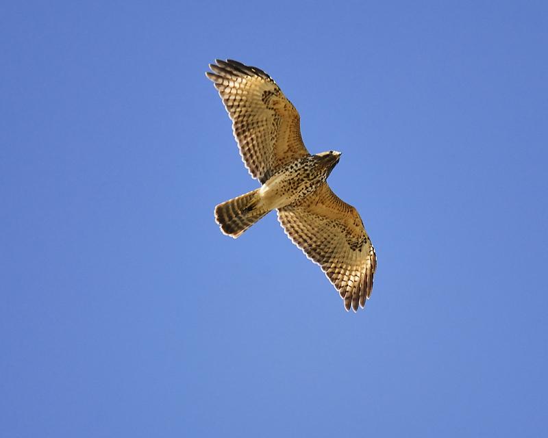 red-shouldered hawk BRD7104.JPG