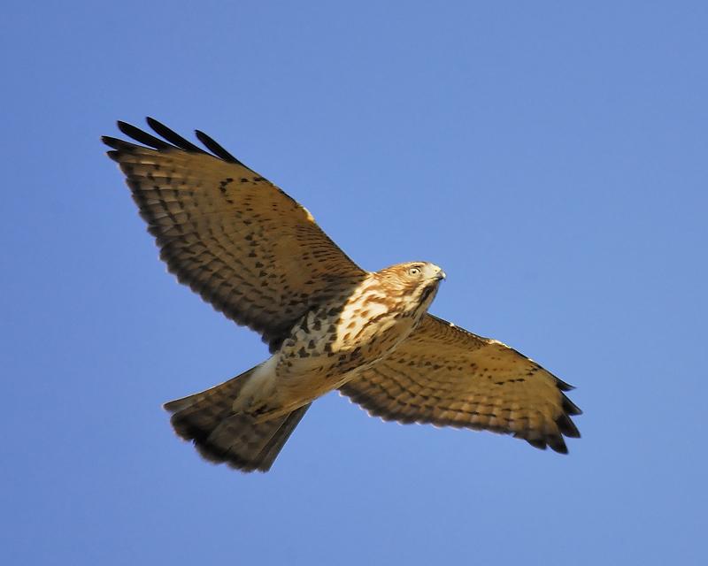 broad-winged hawk BRD6896.JPG