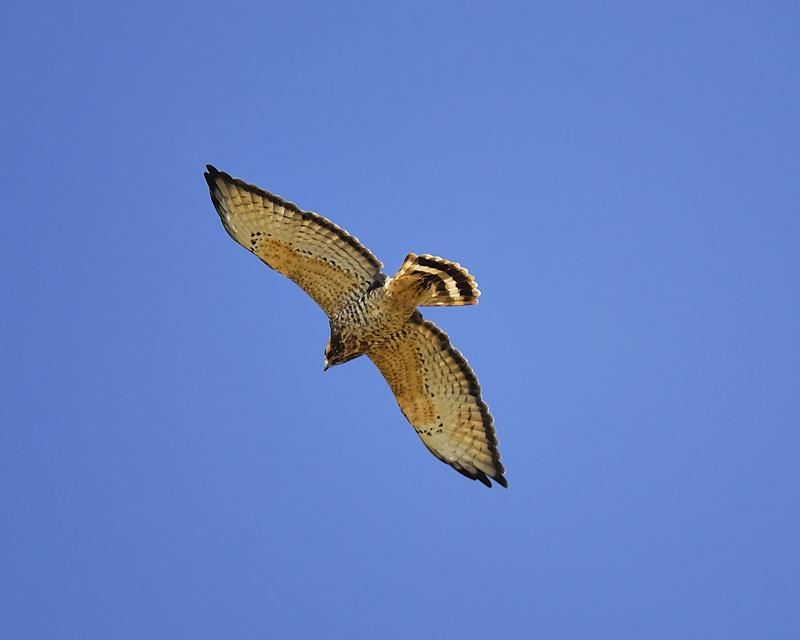 broad-winged hawk BRD7386.JPG