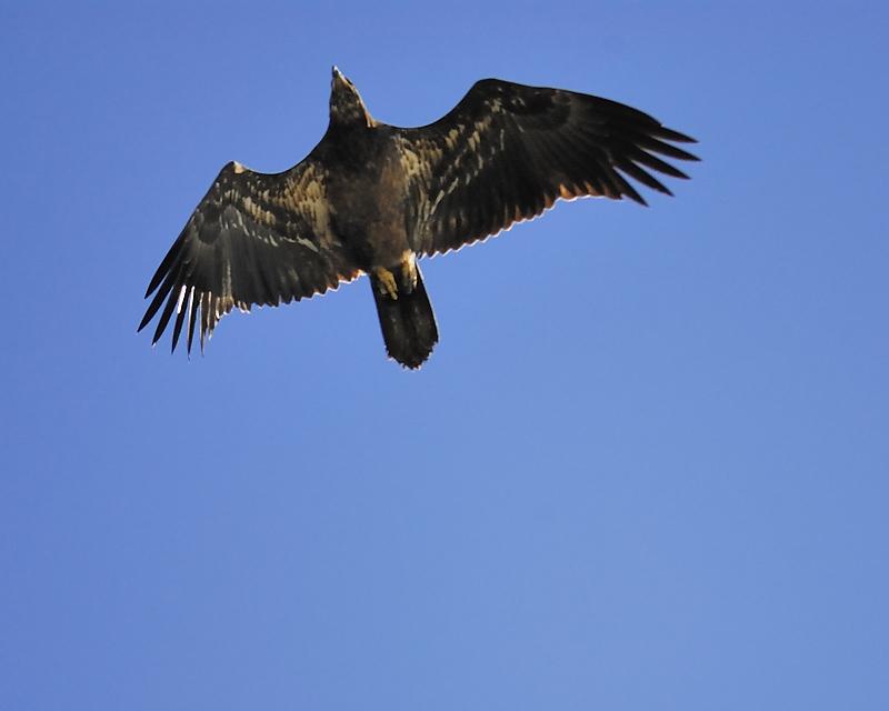 bald eagle BRD7416.JPG