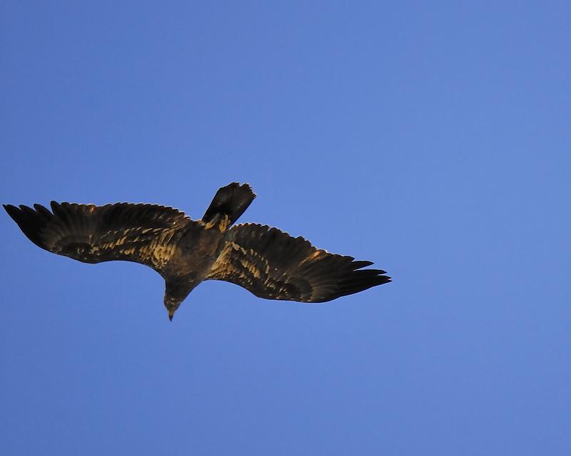 bald eagle BRD7428.JPG