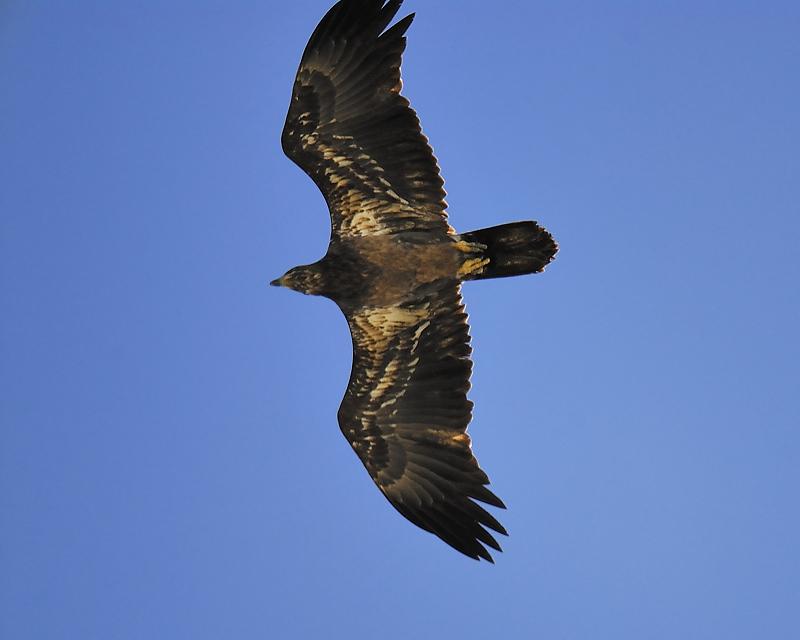 bald eagle BRD7420.JPG