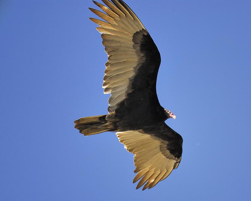 turkey vulture BRD7683.JPG