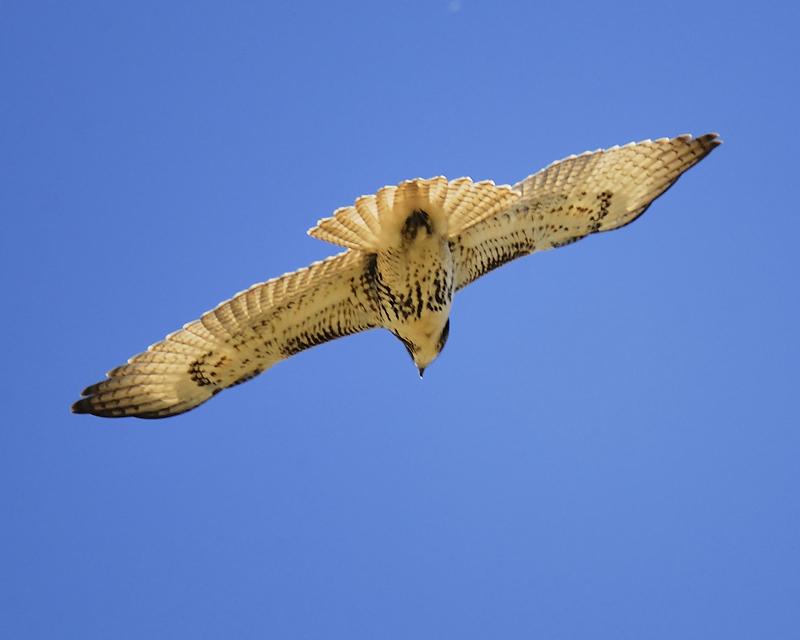 red-tailed hawk BRD7735.JPG