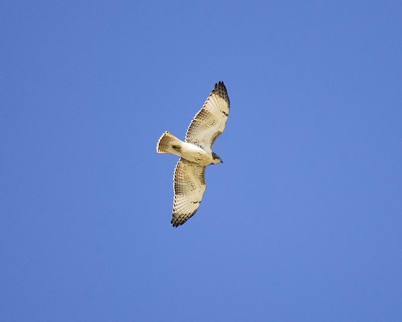 red-tailed hawk BRD8015.JPG