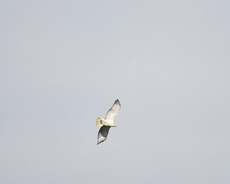 red-tailed hawk BRD8228.JPG
