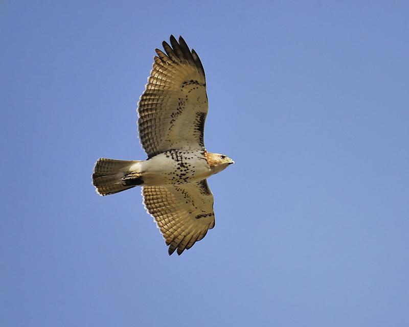 red-tailed hawk BRD8690.JPG
