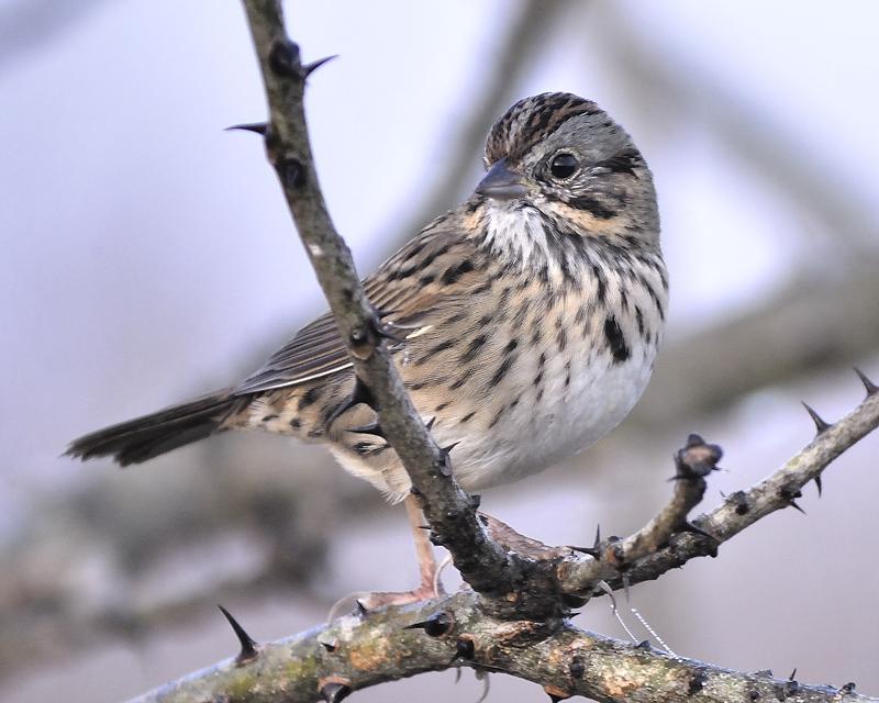 lincolns sparrow BRD9952.JPG