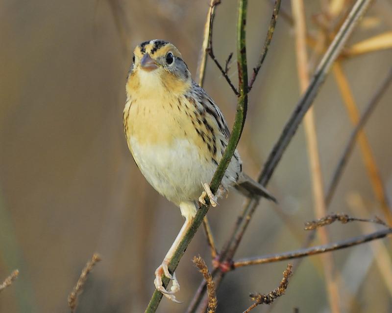 lecontes sparrow BRD0019.JPG