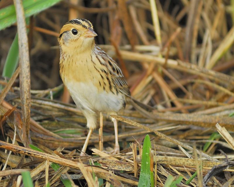 lecontes sparrow BRD9993.JPG