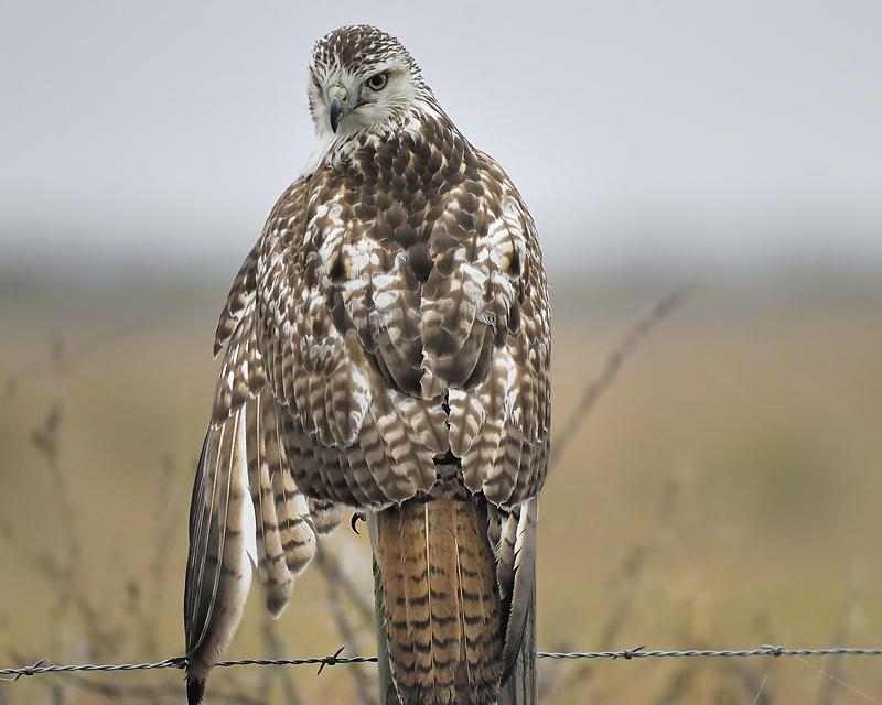 red-tailed hawk BRD0066.JPG