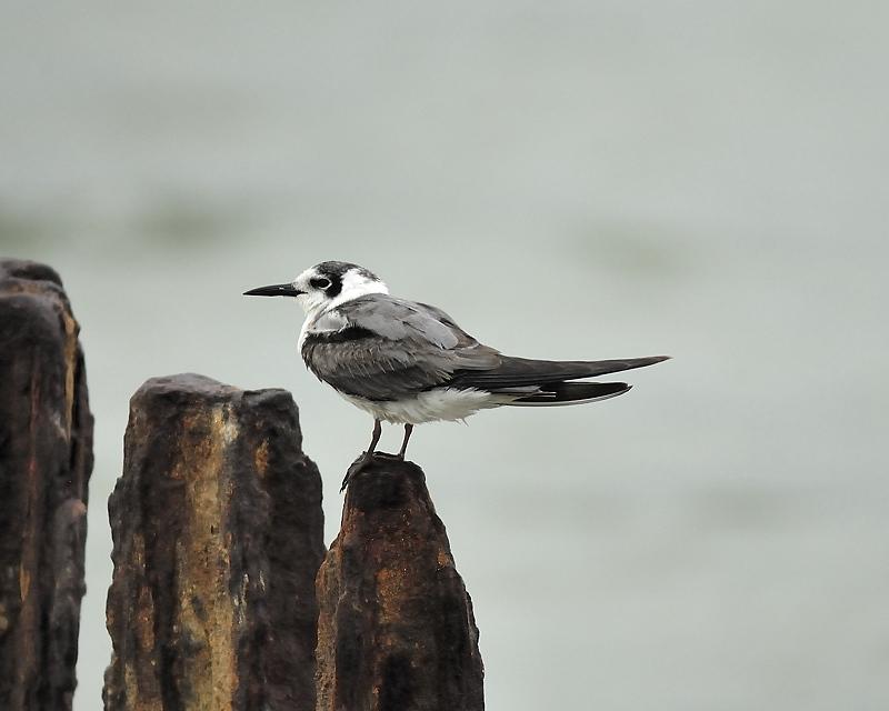 black tern BRD0205.JPG