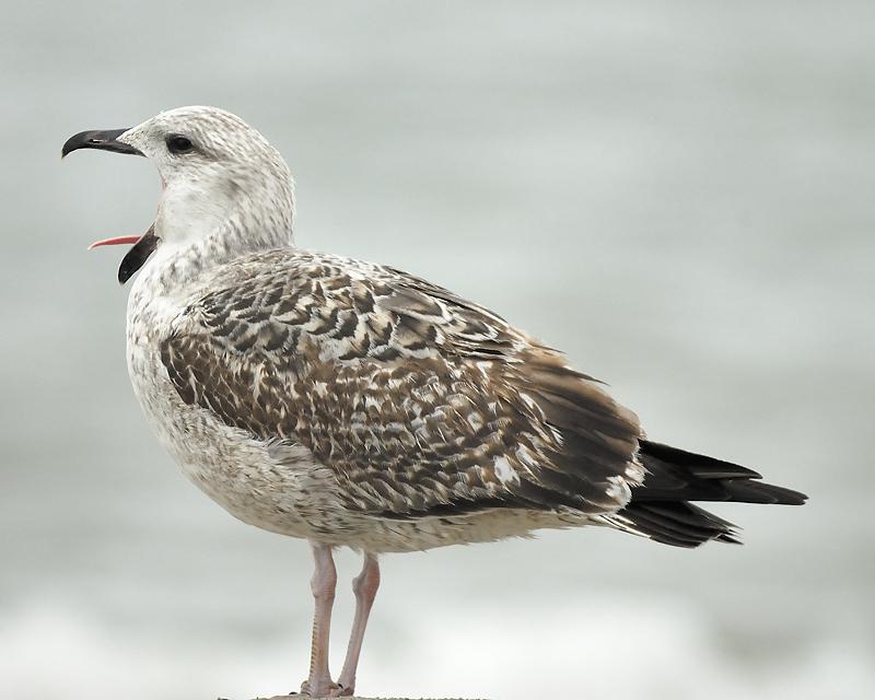 great black-backed gull BRD0125.JPG
